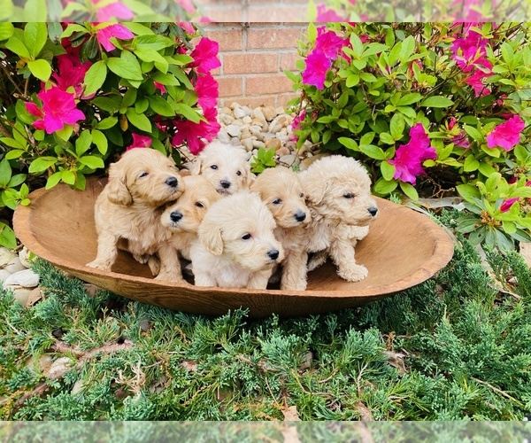 Medium Photo #1 Australian Labradoodle Puppy For Sale in FLORENCE, AL, USA
