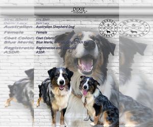 Mother of the Australian Shepherd puppies born on 05/03/2020