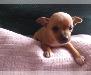 Chihuahua Puppy for sale in HUDSON, MI, USA
