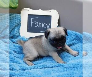 Pug Puppy for sale in KEYSVILLE, VA, USA