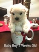 Maltese Puppy For Sale in DAWSONVILLE, GA, USA