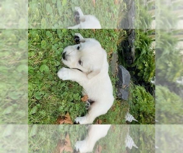 Medium Photo #27 English Cream Golden Retriever Puppy For Sale in ARCHBALD, PA, USA