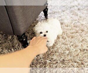 Maltese Puppy for Sale in FULLERTON, California USA