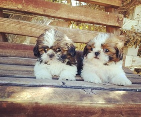 View Ad Shih Tzu Puppy For Sale California Los Angeles Usa
