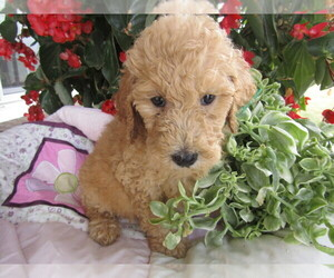 Goldendoodle-Unknown Mix Puppy for sale in BUSINESS REPLY MAIL, MI, USA