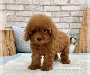 Poodle (Toy) Puppy for Sale in LOS ANGELES, California USA