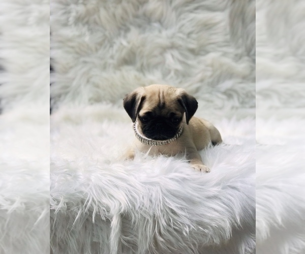 Medium Photo #4 Pug Puppy For Sale in CANTON, CT, USA
