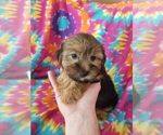 Morkie Puppy For Sale in KENDALL, WI, USA