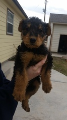 Airedale Terrier Puppy For Sale in CALDWELL, ID