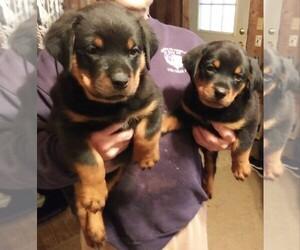 Rottweiler Puppy for sale in HACKETT, AR, USA