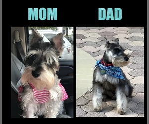 Schnauzer (Miniature) Puppy for sale in DORAL, FL, USA