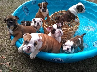 English Bulldog Puppy for sale in DEEP RUN, NC, USA