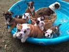 English Bulldog Puppy For Sale in DEEP RUN, NC, USA