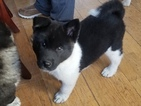 Akita Puppy For Sale in DETROIT, Michigan,