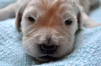 Goldendoodle Puppy For Sale in CUMMING, Georgia,