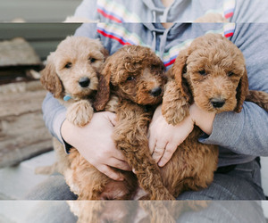 Goldendoodle Puppy for sale in ANDERSON, SC, USA
