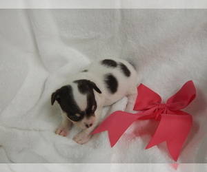 Chihuahua Puppy for sale in CENTRAL POINT, OR, USA