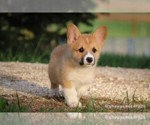 Pembroke Welsh Corgi Dog for Adoption in WEVER, Iowa USA