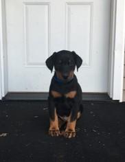 Doberman Pinscher Puppy For Sale in BROADWELL, IL