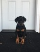 Doberman Pinscher Puppy For Sale in BROADWELL, IL