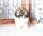 Oscar Male Teddy Bear Puppy