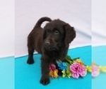 Labradoodle Puppy For Sale in DUNDEE, OH, USA