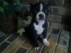 Boston Terrier Puppy For Sale in GRABILL, IN