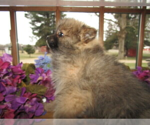 Pomeranian Puppy for sale in FORT WAYNE, IN, USA