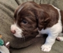 English Springer Spaniel Puppy For Sale in SHERBURN, MN, USA