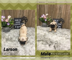 Pug Puppy for sale in MYRTLE, MO, USA