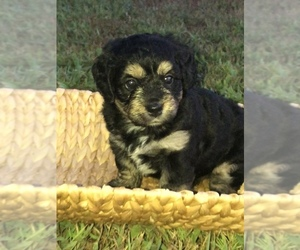 Bernese Hound-Poodle (Miniature) Mix Puppy for Sale in STILLWATER, Oklahoma USA