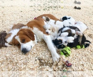 Father of the Great Bernese puppies born on 06/30/2019