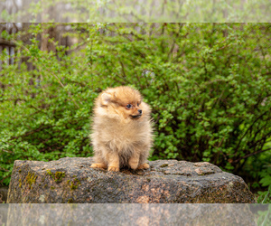 Pomeranian Puppy for Sale in DES PLAINES, Illinois USA