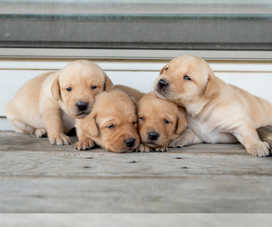 Labrador Retriever Puppy for Sale in BIG LAKE, Minnesota USA