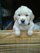 Goldendoodle Puppy For Sale in HONEA PATH, SC, USA