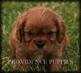 Cavalier King Charles Spaniel Puppy For Sale in WAYLAND, Iowa,