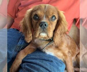 Cavalier King Charles Spaniel Puppy for sale in ORRTANNA, PA, USA