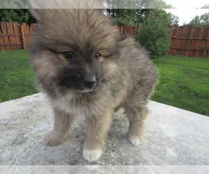 Pomsky Puppies for Sale near Milwaukee, Wisconsin, USA, Page