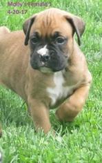 Boxer Puppy For Sale in WESTVILLE, IN