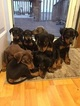 Doberman Pinscher Puppy For Sale in HOPEWELL, VA, USA