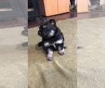 Small Photo #2 Pomsky Puppy For Sale in SUBLIMITY, OR, USA