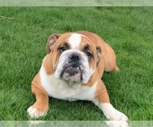 Mother of the English Bulldog puppies born on 10/05/2020