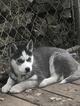 Small #2 Siberian Husky