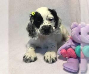 Cocker Spaniel Puppy for sale in BURBANK, CA, USA