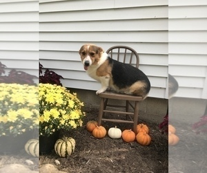 Father of the Pembroke Welsh Corgi puppies born on 09/14/2020