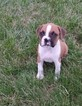 Boxer Puppy For Sale in WOODLEAF, North Carolina,
