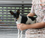 Small #3 Fox Terrier (Smooth)-Jack Russell Terrier Mix