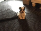 Biewer Terrier Puppy For Sale in LAKE PARK, GA, USA