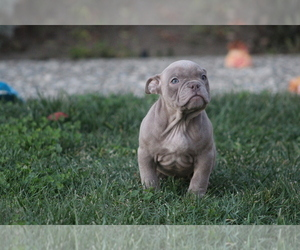 American Bully Dog for Adoption in CLYDE, California USA