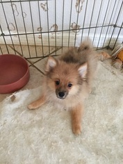 Pomeranian Puppy For Sale in PUNTA GORDA, FL